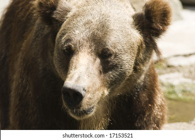 Portrait of a brown bear in the zoo