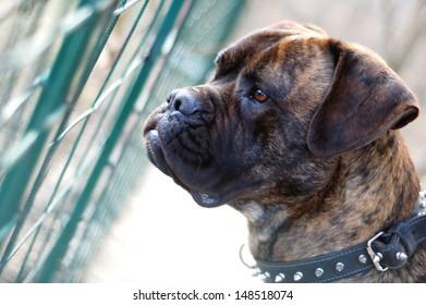portrait of brown bullmastiff dog