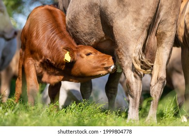 Portrait of a brown calf cow on a meadow