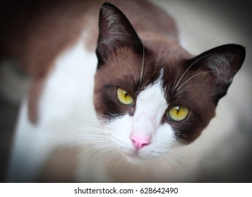 Portrait of a brown cat with yellow eyes