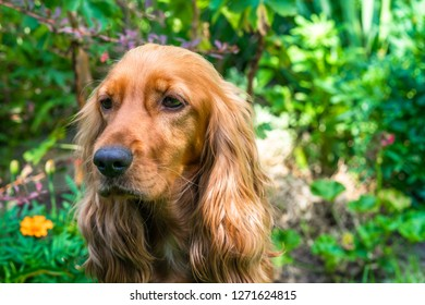 Portrait of a brown cocker spaniel dog sitting in the garden - selective focus