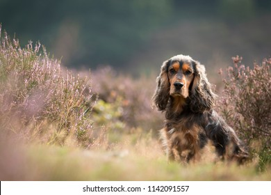 Portrait of a brown cocker spaniel in a field of purple heather