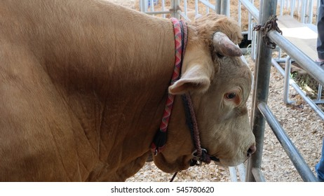 Portrait of brown cow in the cage