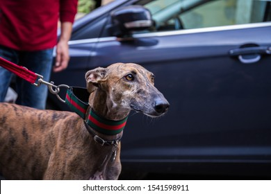 Portrait of a brown curious Spanish Greyhound Galgo dog next to a car on a leash