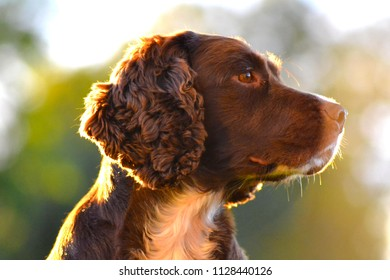 A portrait of brown cute young dog sitting on the grass in the garden. Outdoor, pet animal background. Pet concept. Sunset colours