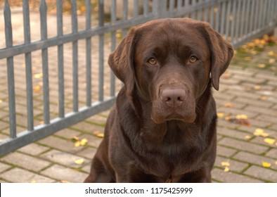 Portrait of brown dog labrador retriever sitting near fence in a autumn garden