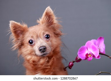 Portrait of a brown dog with a pink orchid flower