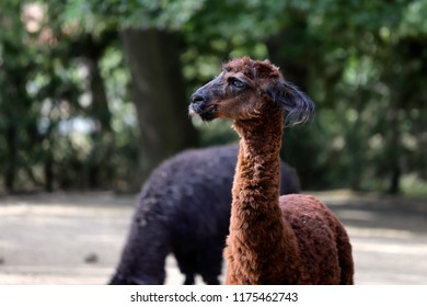 Portrait of brown domesticated Alpaca (Vicugna pacos) species of South American camelid. Photography of nature and wildlife.