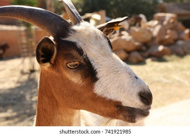 Portrait of a brown goat