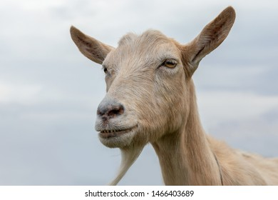 Portrait of brown goat with beard and very big ears, on the blue sky background