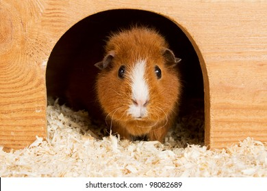 Portrait of a brown guinea pig looking out of a wooden house