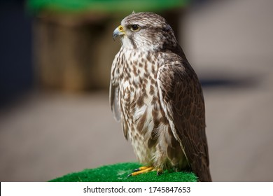 Portrait of brown head buteos, hawk genus, close up of wild bird, sitting calm