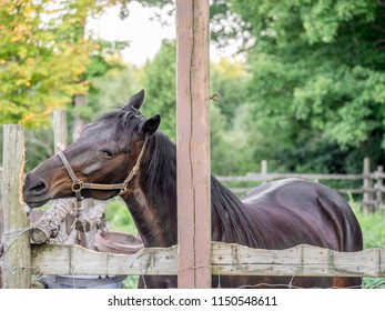 Portrait of a brown horse in a bridle chewing on fence post
