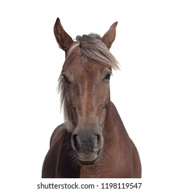 Portrait of a brown horse with a light mane isolated on a white background. Calm animal looks into the camera and smiles.Selective focus image.