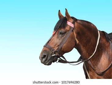 Portrait of a brown horse on blue sky background. Copy space for text