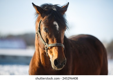 Portrait of a brown horse on the pasture