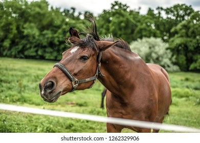 Portrait of brown horse shaking its head with green field and trees in the background