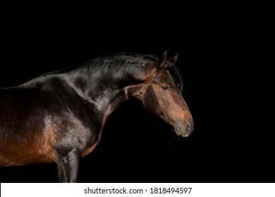 Portrait of a brown horse standing side isolated on black. Bay stallion head close up isolated on black background.