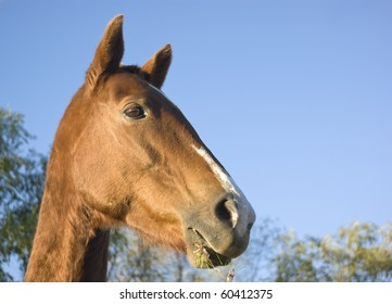 Portrait of a brown horse, in a sunny day, blue sky in the background.