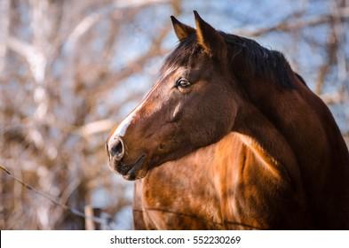 portrait of brown horse in winter