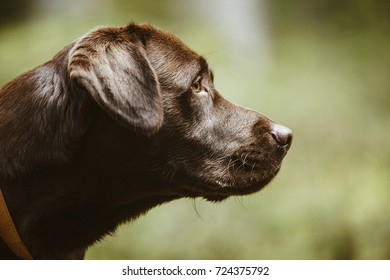 Portrait of a brown Labrador dog outside in autumal forest