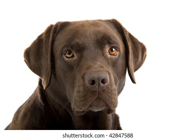 Portrait of brown labrador retriever dog isolated on white background