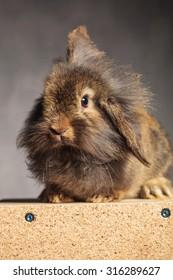 Portrait of a brown lion head rabbit bunny sitting on a wood box, on grey studio background.
