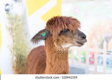Portrait of brown llama