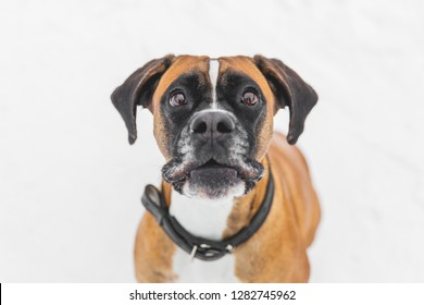 Portrait of brown pedigreed dog on the snow. Boxer.