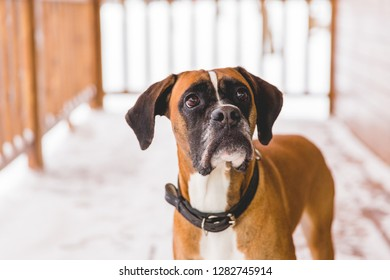 Portrait of brown pedigreed dog sitting in the wooden home. Boxer