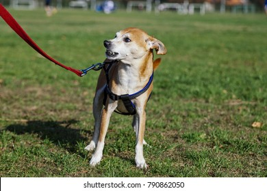 Portrait of a brown Pinscher dog standing on the grass on a sunny day, barking at somebody off-frame.