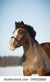 Portrait of brown pony.
