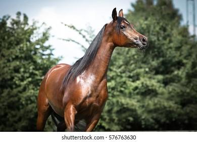 Portrait of brown, shiny arabian horse.