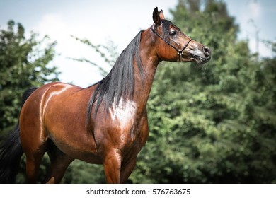 Portrait of brown, shiny arabian horse with bridle.