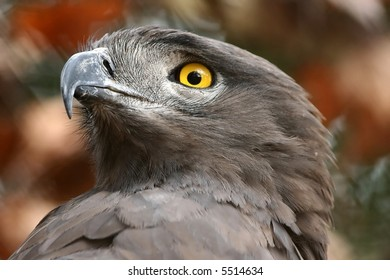 A portrait of a Brown Snake Eagle