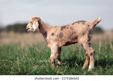 Portrait of brown spotted little goatling in the meadow, Brown goat with dark brown spots stands in profile