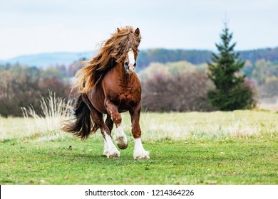 Portrait of a brown stallion Percheron with beautiful mane and harness on autumn land. Beautiful brown draft horse outdoors with white legs. Czech Republic.