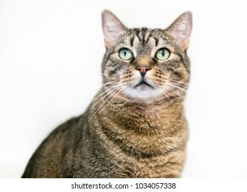 Portrait of a brown tabby domestic shorthair cat with a white background