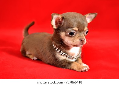 Portrait of a brown and tan short-haired Chihuahua puppy on a red background