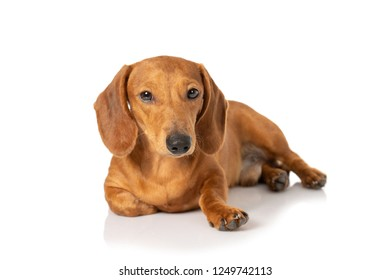portrait of Brown teckel dog isolated on white background