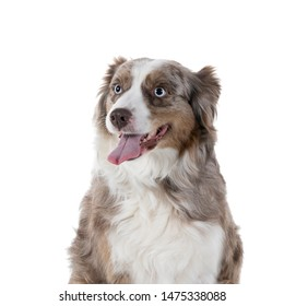 A Portrait of a brown and white Australian Shepherd dog sitting isolated in white background  looking aside