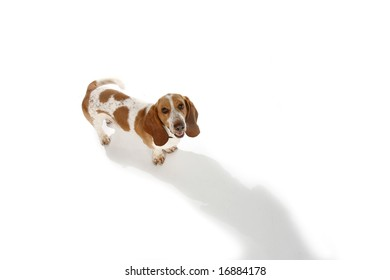portrait of a brown and white basset hound dog from above