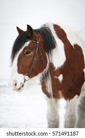 Portrait of brown and white Irish Cob with bridle in the snow.