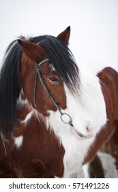 Portrait of brown and white Irish Cob with bridle.