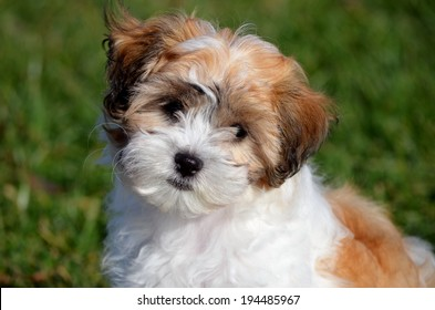 Portrait of brown and white shichon puppy on blurred green grass background