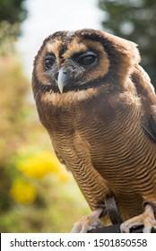 Portrait of Brown Wood Owl - Image