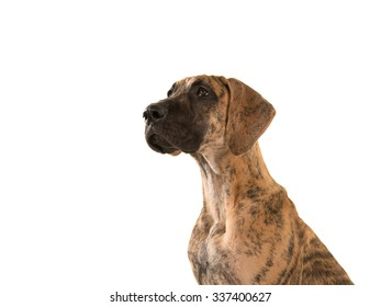 Portrait of a brown young great dane dog looking up isolated on a white background