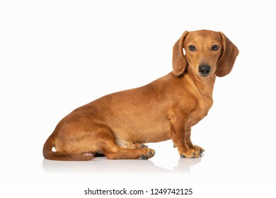 portrait of Brown young teckel dog isolated on white background