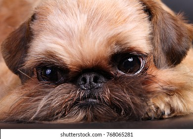 Portrait of the Brussels Griffon. The Griffon puppy lies and looks faithfully at the master. Home favorite.