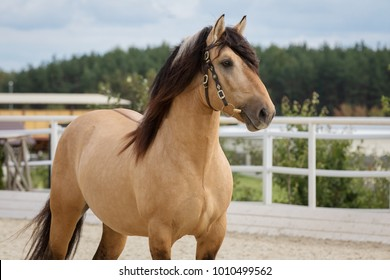 Portrait of buckskin horse in the stable at summer
